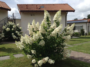 Beautiful Ortensia Paniculata at Villa Gelsomina, first fresh white! (taken 26.7.2014)