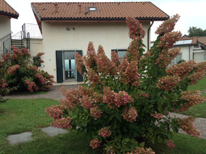 The Ortensia Paniculata at Villa Gelsomina, now wine red!!! (taken 9.10.2014)