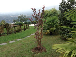 Lagerstroemia Dynamite at Villa Gelsomina, planted 20.9.2014, picture taken 9.10.2014