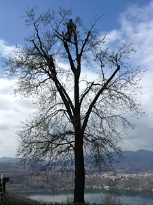 Pruning the large oak tree at Villa Gelsomina on 3.4.2015 - during!